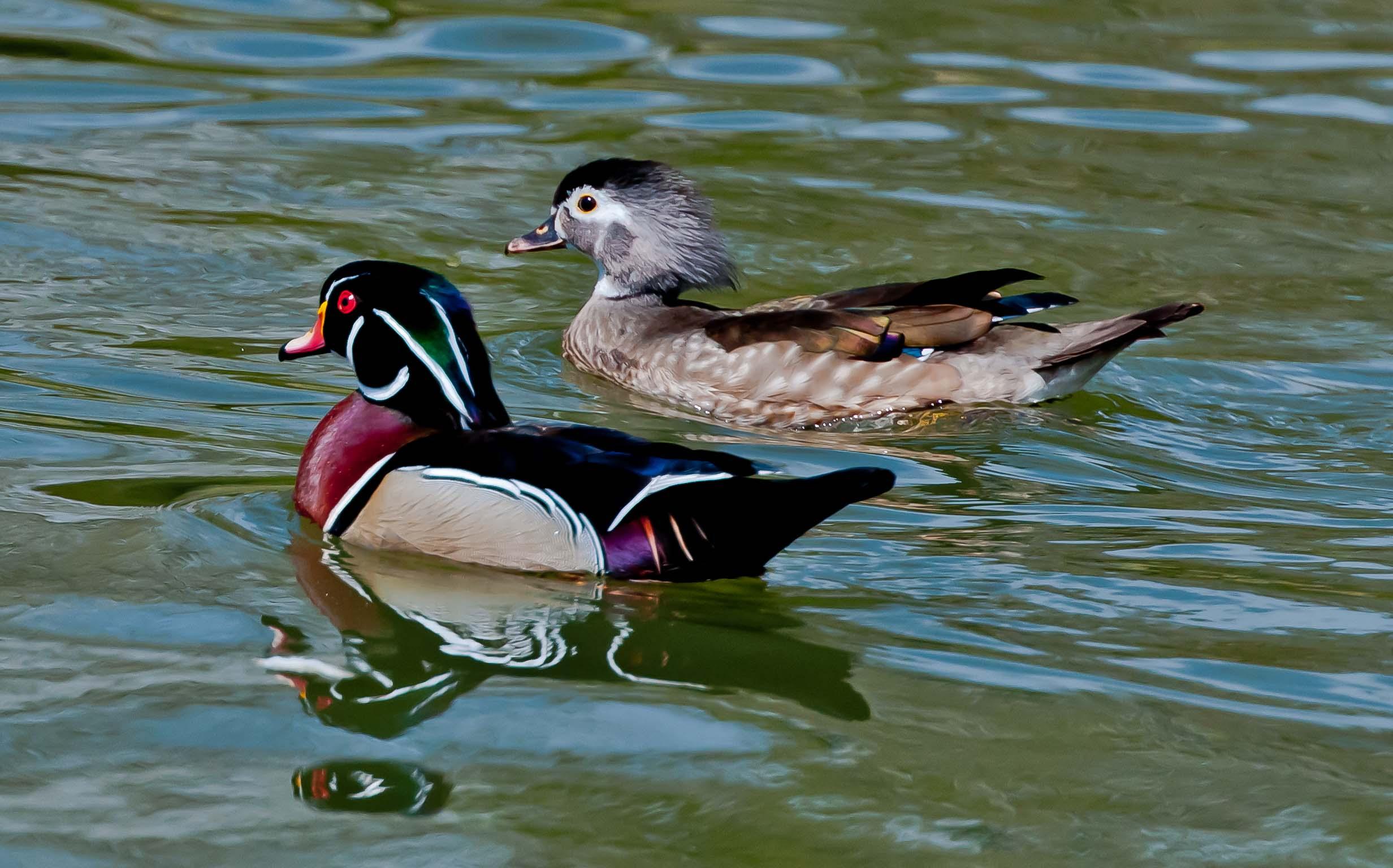 Wood ducks_7342