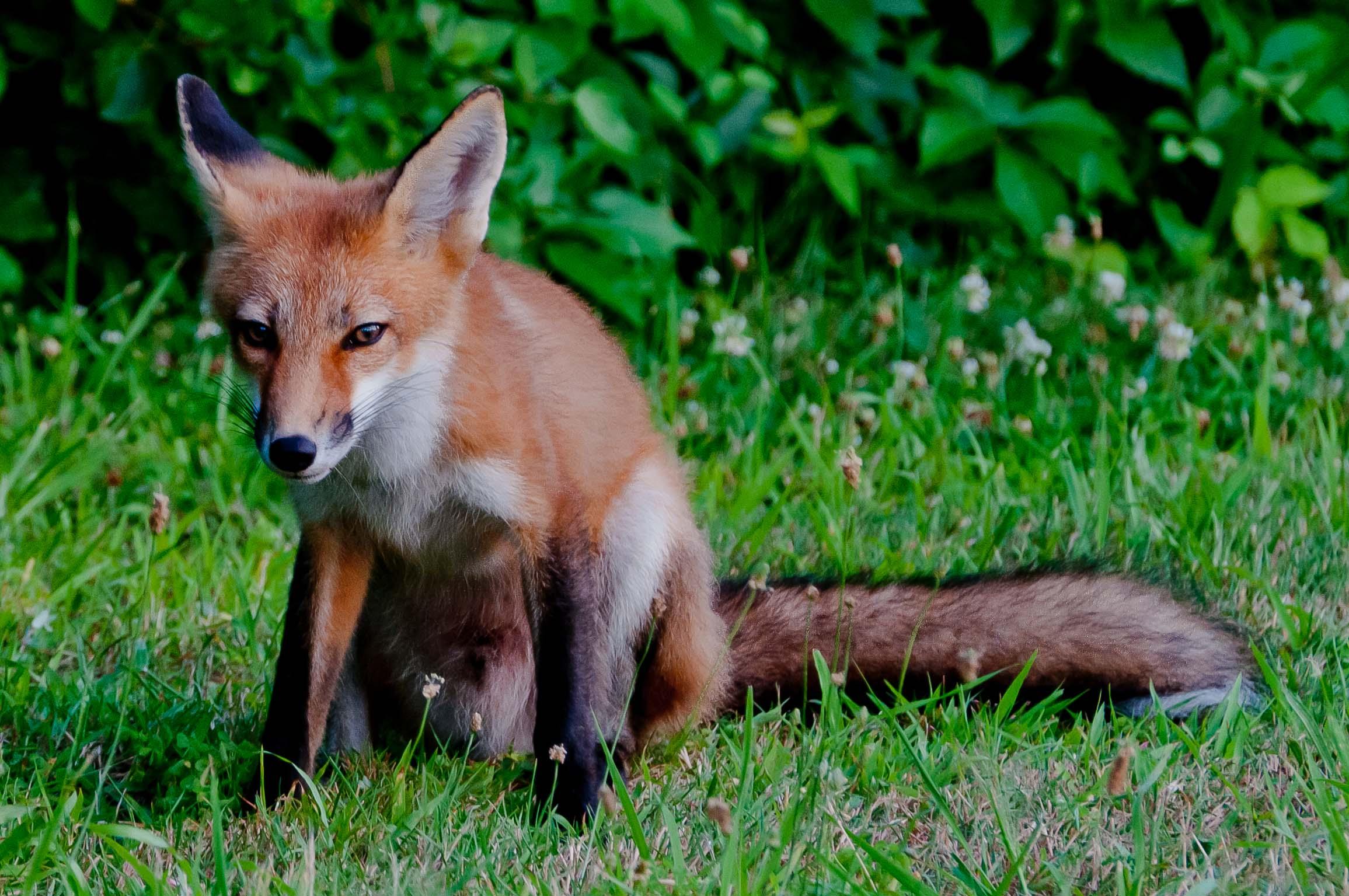 Fox_family_5850